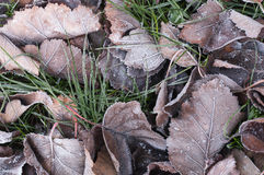 Leaves and grass with hoarfrost autumn morning. Stock Images