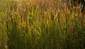 The leaves of grass with a late afternoon llght coming through. In Queensland, Australia reed warm nature landscape warmth bright leaf outdoor summer blossom royalty free stock photos