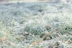 Leaves in the grass with morning frost Royalty Free Stock Photo