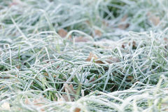 Leaves in the grass with morning frost Stock Photography