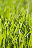 Leaves of grass and wheat with dew Stock Photos