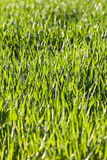 Leaves of grass and wheat with dew Stock Photo