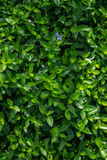 Leaves. Green leaves background royalty free stock image