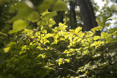 Leaves. Green leaves with beautiful sunligh Stock Photography