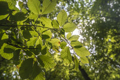 Leaves. Green leaves with beautiful sunligh Royalty Free Stock Photos