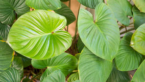 Leaves of green caladium plant tree Stock Photos