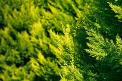 Leaves in green color. Deodar leaves in green color Stock Image