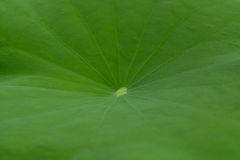 The leaves green. Royalty Free Stock Photography