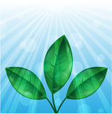 Leaves of green color and sunbeams Royalty Free Stock Photography