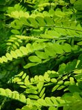 Leaves, Green, Common Maple Stock Photos