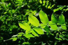 Leaves, Green, Common Maple, Tree Stock Photo