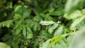 Leaves. Green leaves in falling rain stock footage