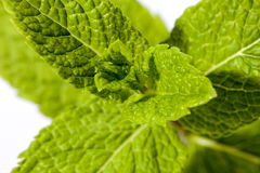Leaves of green, fresh mint on white background Stock Photos