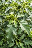 Leaves and green fruit with spikes - Datura stramonium. Royalty Free Stock Images