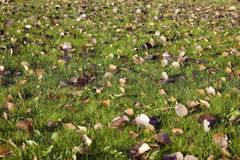 Leaves on green grass. Many brown leaves on green grass, autumn theme Stock Photo