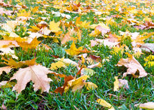 Leaves on green grass Stock Image