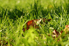 Leaves in green grass Stock Images