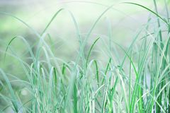Leaves of green grass in the meadow. Summer evening, light breeze and calm  atmosphere. Leaves of green grass in the meadow. Summer evening, light breeze and royalty free stock photos