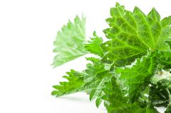 Leaves green nettle. On a white background royalty free stock image