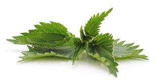 Leaves green nettle. Leaves green nettle on a white background stock image