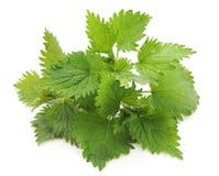 Leaves green nettle. Leaves green nettle on a white background stock photography