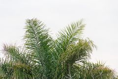 Green palm tree cup on the white background stock images