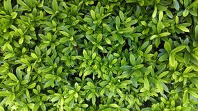 Leaves green plants Royalty Free Stock Image