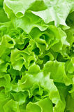 Leaves of green salad Stock Photo