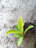 Fresh green leaves germinate in the middle of the tree Royalty Free Stock Photos