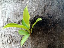 Fresh green leaves germinate in the middle of the tree Stock Images