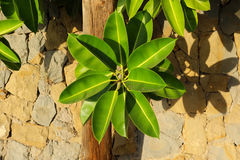 Leaves. Green leaves with stone in Spain Royalty Free Stock Photo