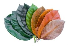 Leaves from green to dry on a white background. Royalty Free Stock Photo