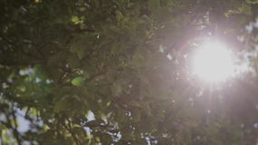 Leaves of green tree on a sunny day.  stock video footage