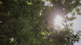 Leaves of green tree on a sunny day.  stock footage