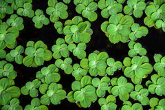 Leaves of green water fern, mosquito fern close up floating in a garden pond. Stock Image