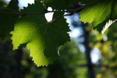 Leaves of green wineyards in Tuscany, Chianti, Italy. Wineyards in Tuscany, vinegrapes, and leaves vine. Chianti region, in Tuscany, Italy stock image