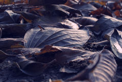 Leaves on the ground. Chesnut leaves leaf on the ground. Dried Royalty Free Stock Image