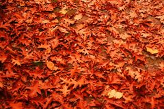 Leaves on the ground, carpet pile in the oak forest Stock Images