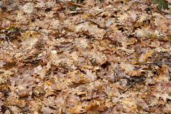 Leaves on ground in forest Royalty Free Stock Image
