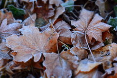 Leaves on the ground with frost Stock Photos