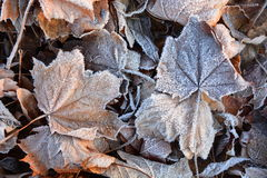 Leaves on the ground with frost Royalty Free Stock Image