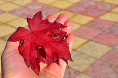 Leaves in  the hand. Red leaves in the palm of the hand Royalty Free Stock Photography