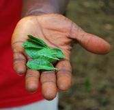 Leaves in hand. Man holds green leaves in his palm. Environment, arboriculture royalty free stock photos