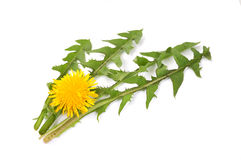 Leaves of hawkbit Stock Photography