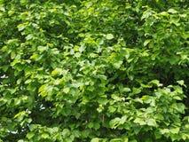 Hazel tree leaves. Leaves of hazel nut tree aka Corylus tree stock photo