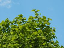 Hazel tree leaves. Leaves of hazel nut tree aka Corylus tree royalty free stock photo
