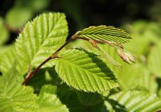 Leaves of hazel tree Royalty Free Stock Image