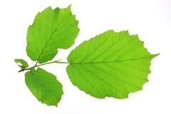Leaves of the Hazel tree (Corylus avellana) Stock Images