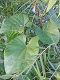 Leaves- heart shaped native creeper plant stock photography