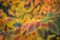 Leaves of Hedge/Shiny cotoneaster (Cotoneaster lucidus) in autumn colors Royalty Free Stock Photo